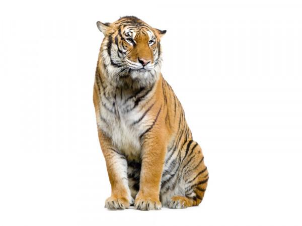 Wandsticker Afrika Sitzender Tiger