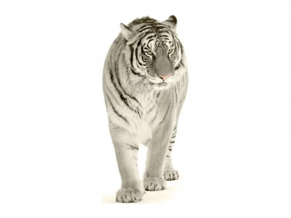 Wandsticker Schneetiger Schnee Tiger laufend