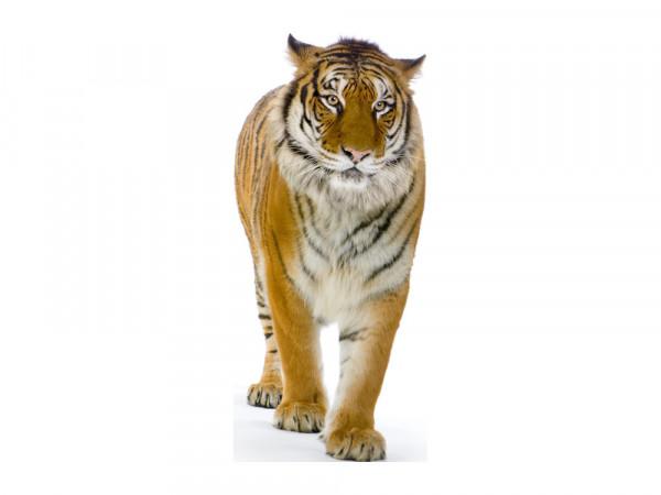 Wandsticker Afrika Laufender Tiger für Ihr Wohnzimmer