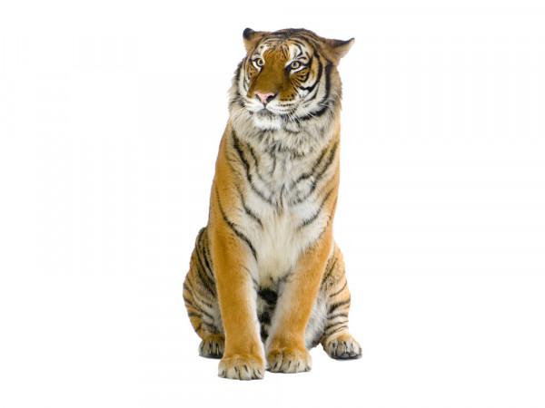 Wandsticker Afrika Sitzender Tiger für Ihr Wohnzimmer