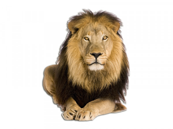 Wandsticker Tiere Löwe Afrika Zoo Savanne