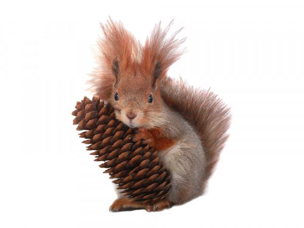 Wandsticker Wandtattoo Wandaufkleber Kinderzimmer Eichhörnchen Zapfen