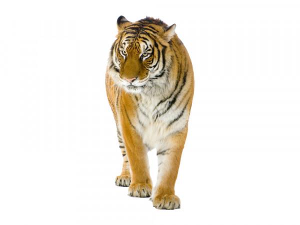 Wandsticker Afrika Anmutiger Tiger für Ihr Wohnzimmer